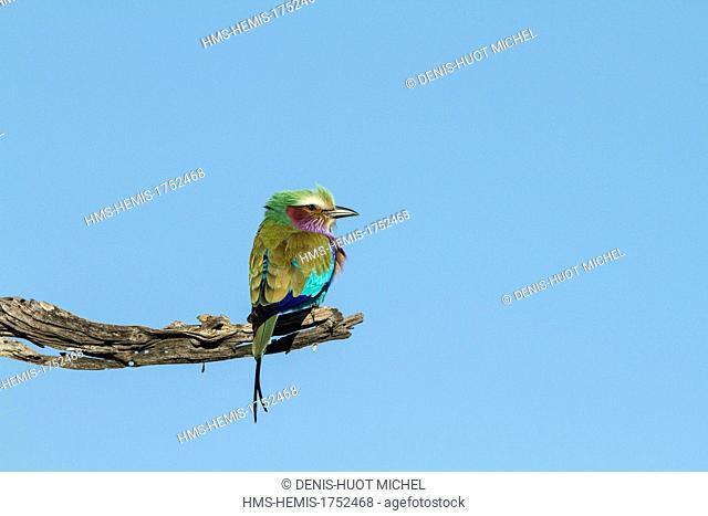 Botswana, Moremi game reserve, Lilac-breasted roller (Coriacas caudata)