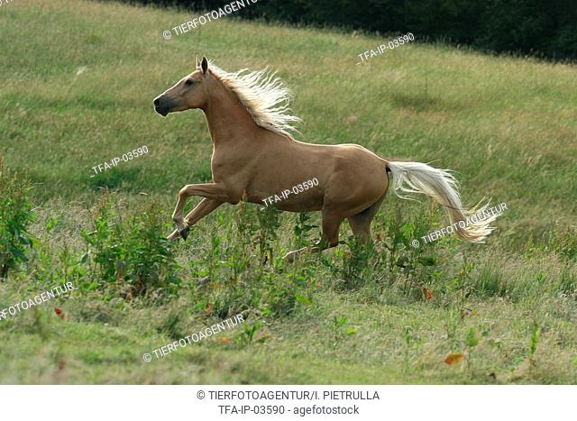 galloping Palomino