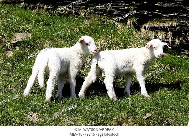 Sheep - two lambs