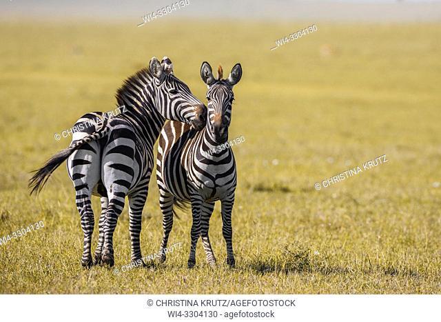 Two Burchell's Zebras or Plains Zebras (Equus burchellii), Masai Mara, Kenya, East Africa