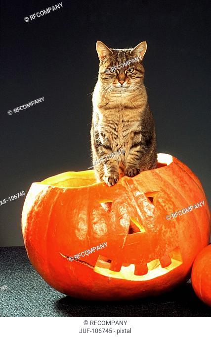 tabby domestic cat - standing in pumpkin