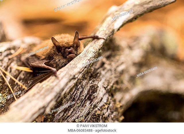 Bat in autumn forest
