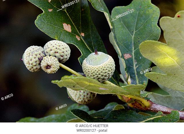 Pubescent, Oak, Oaks, North, Rhine-Westphalia, Germany,Quercus, pubescens