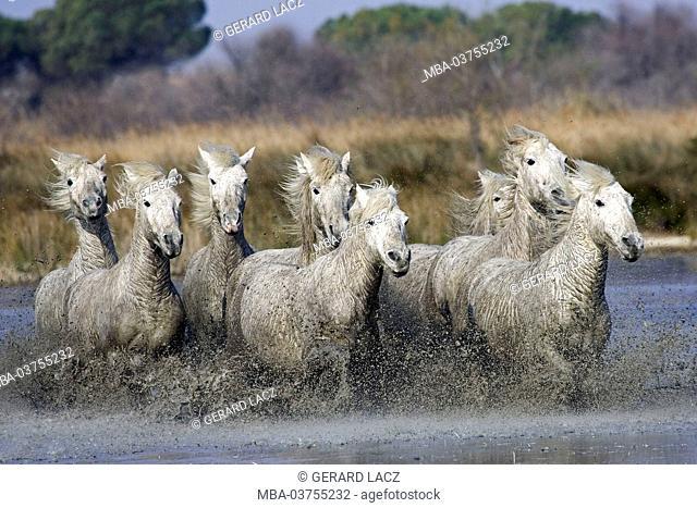 Camargue Horse, Herd standing in Swamp, Saintes Maries de la Mer in South East of France