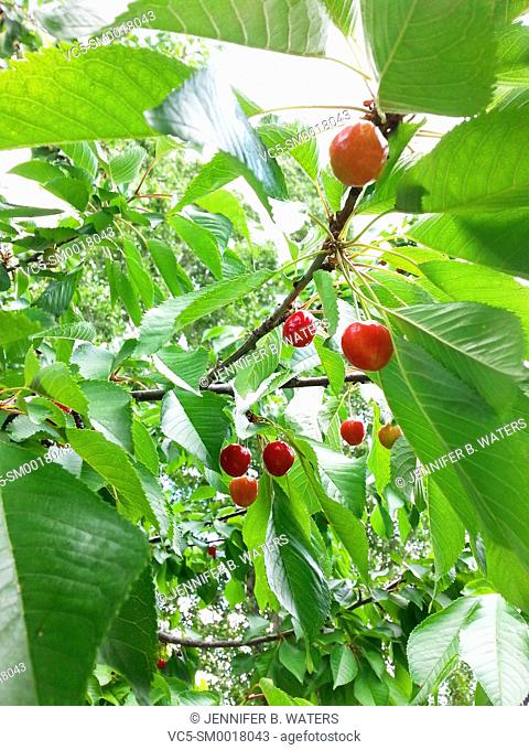 Close-up of Sam Cherries on a tree