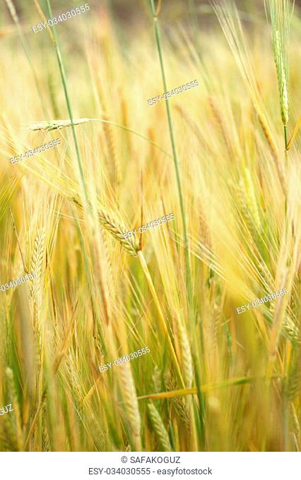 Mature wheat kernel Stock Photos and Images   age fotostock