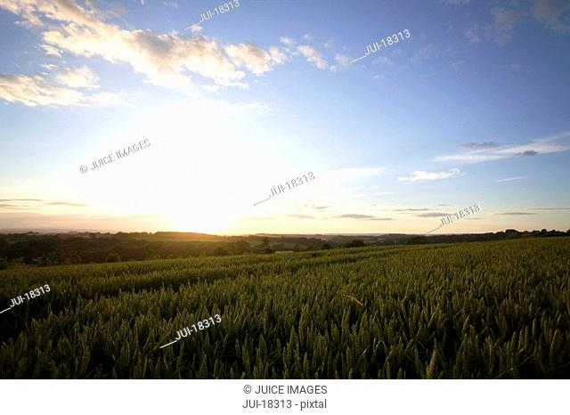 Sun rising on wheat fields
