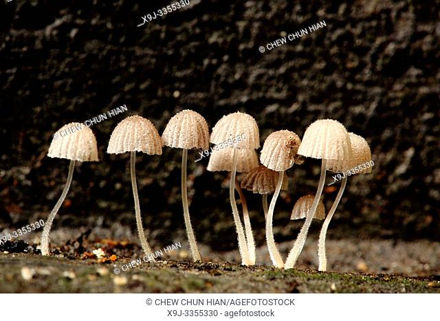 Mushroom, Fungi, on tree trunk, borneo