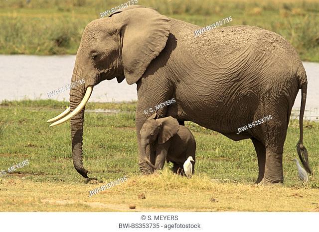 African elephant (Loxodonta africana), female elephant with baby, Kenya, Amboseli National Park