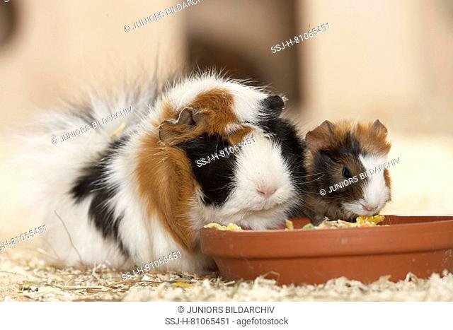 Abyssinian Guinea Pig. Mother with young (3 days old) on wood shavings, eating from a bowl. Germany