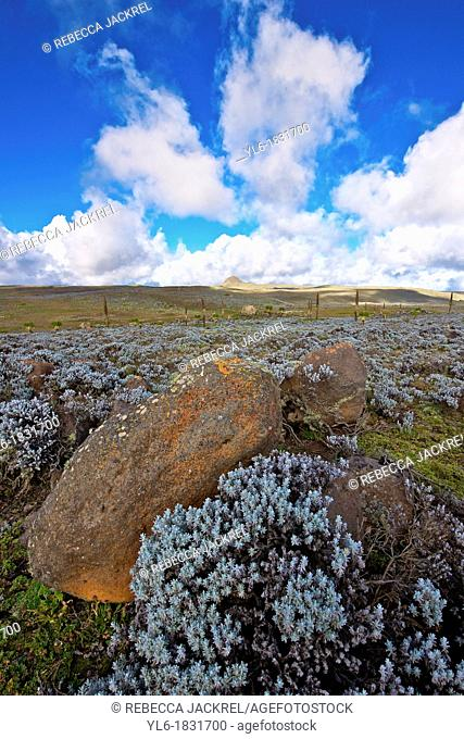 Helichrysum citrispinum plants and rocks in the Bale Mountains, Ethiopia