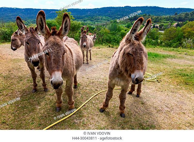 Donkey, Moustiers Sainte Marie, Mostiers Santa Maria, Alpes-de-Haute-Provence department, Provence-Alpes-Cote d'Azur, France