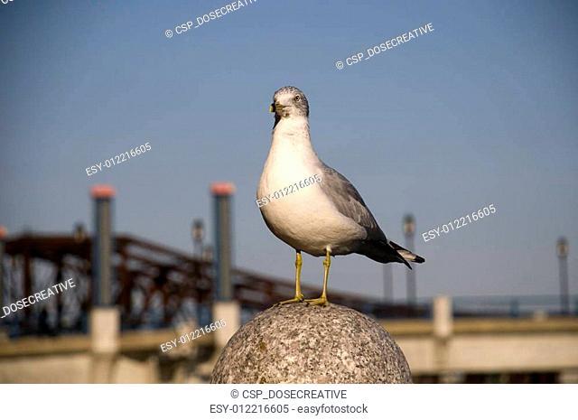 Seagull in Boston Harbor