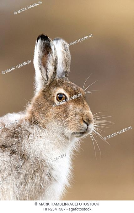 Mountain Hare (Lepus timidus) close up of adult in spring coat