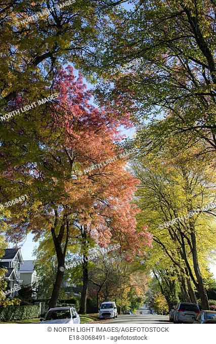 Canada, BC, Vancouver. Tree lined street with fall colours beginning to show. Upscale neighbourhood in the West Side of the city