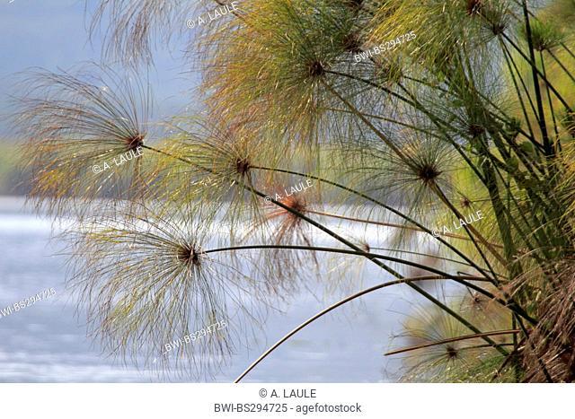 papyrus, paper plant, bulrush (Cyperus papyrus), plants at the waterfront, Uganda, Lake Mburo National Park