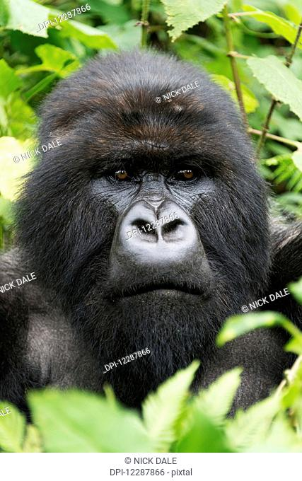 A Male Silverback Gorilla (Gorilla beringei beringei) Looks Into The Distance With His Head Surrounded By Leaves And Branches In The Forest; Nkuli
