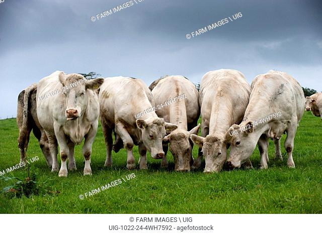 Herd of Charolais cows and calves on pasture land. (Photo by: Wayne Hutchinson/Farm Images/UIG)