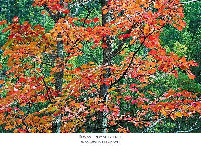 Autumn sugar maple trees  Algonquin Provincial Park, Ontario  Canada