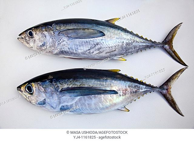 juvenile yellowfin tunas are called, shibi in Hawaii and Japan, consisting of two differenct species of tunas - yellowfin tuna, Thunnus albacares above
