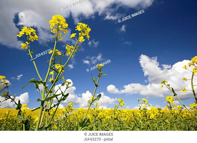 Bright yellow field of rapeseed