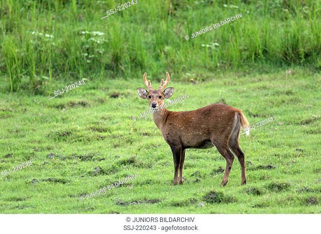 Hog Deer (Axis porcinus, Cervus porcinus), stag on a meadow, Kaziranga-Nationalpark, Assam