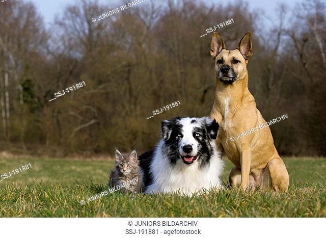 Australian Shepherd, Maine Coon kitten and Malinois-mix on a meadow. Germany