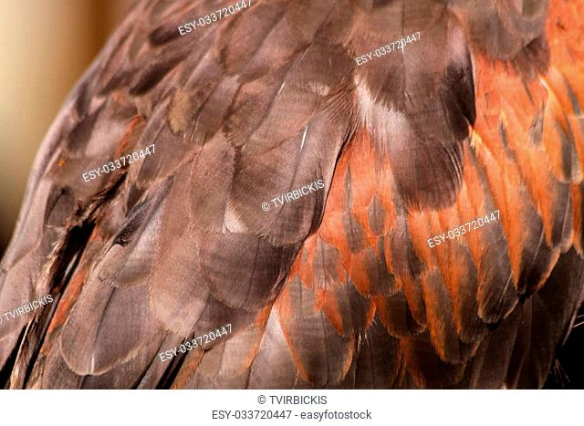 Close up of plumage on a Harris Hawk wing