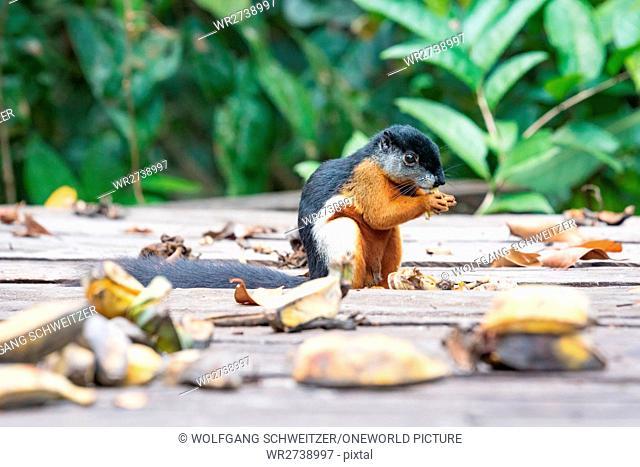 Indonesia, Kalimantan, Borneo, Kotawaringin barat, Tanjung Puting National Park, close-up of a squirrel, Prevosts Squirrel (Callosciurus prevostii) climbing...