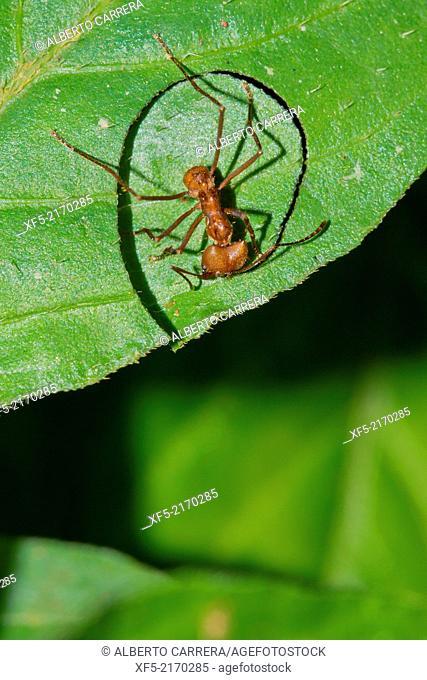 Leafcutter Ant, Tropical Rainforest, Marino Ballena National Park, Uvita de Osa, Puntarenas, Costa Rica, Central America, America