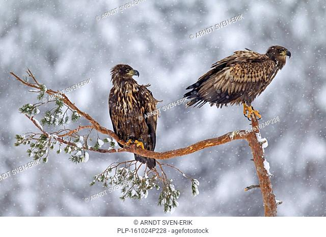 Two young white-tailed eagles / sea eagles / ernes (Haliaeetus albicilla) perched in tree during snowfall in winter