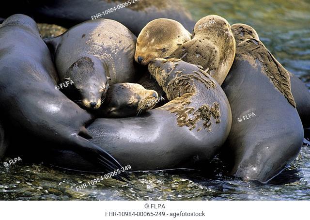 Californian Sea Lion Zalophus californianus Group huddled together - Montery, California, U S A