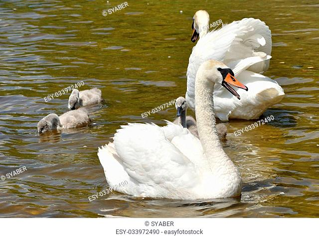 Family of white swans on the water