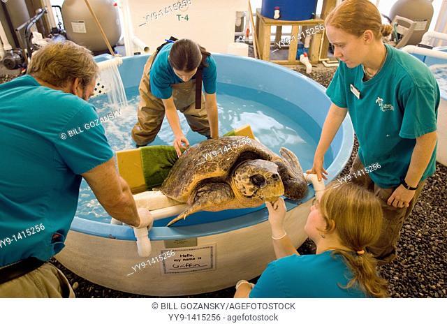 Staff working with sea turtle - Georgia Sea Turtle Center - Jekyll Island, Georgia