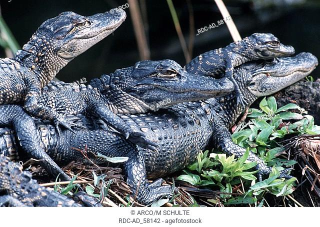 Young American Alligators Everglades National Park Florida USA Alligator mississippiensis