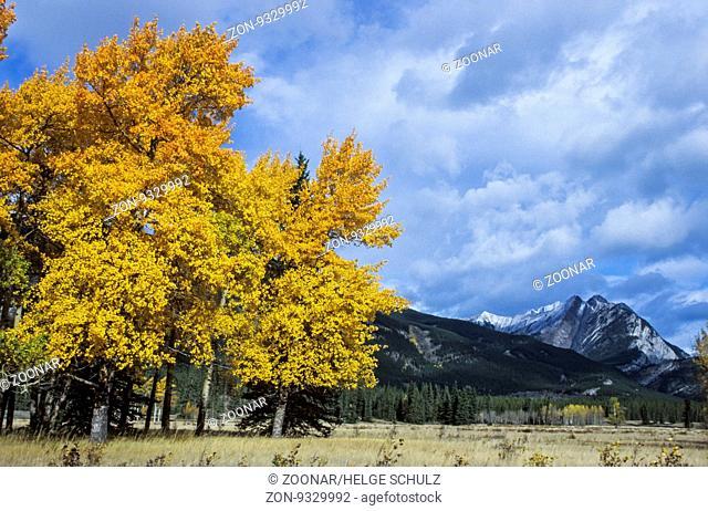 Amerikanische Zitterpappeln im Herbst in den Kanadischen Rocky Mountains / Quaking Aspen in autumn in the Canadian Rocky Mountains / Jasper Nationalpark -...