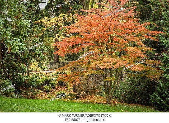 Kousa Dogwood in autumn, autumn Cornus kousa