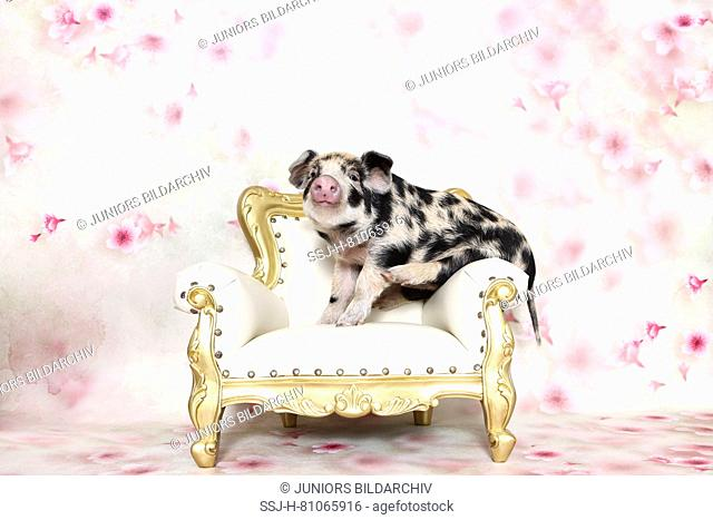 Domestic Pig, Turopolje x ?. Piglet (4 weeks old) on an antique armchair. Studio picture seen against a white background with flower print. Germany