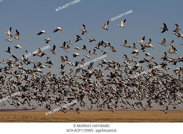 Snow Goose White & Blue Phase, Chen caerulescens) Filling the sky, a mixture of Snow Geese, both phases, take off for feeding