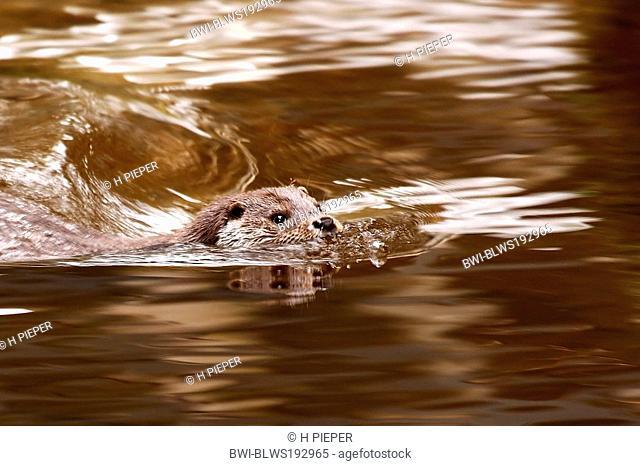 European river otter, European Otter, Eurasian Otter Lutra lutra, swims in water