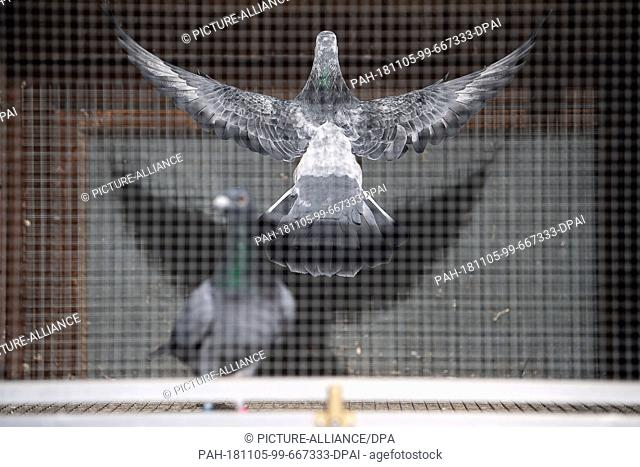 02 November 2018, Baden-Wuerttemberg, Stuttgart: A carrier pigeon flies in a carrier pigeon club in an aviary. At the beginning of December