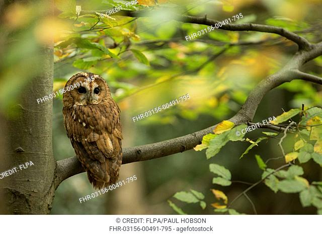Tawny Owl (Strix aluco) adult, perched on Common Beech (Fagus sylvatica) branch, South Yorkshire, England, October (captive)