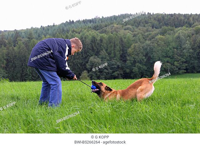 Malinois Canis lupus f. familiaris, with a boy in a meadow, plyfully fighting about a ball