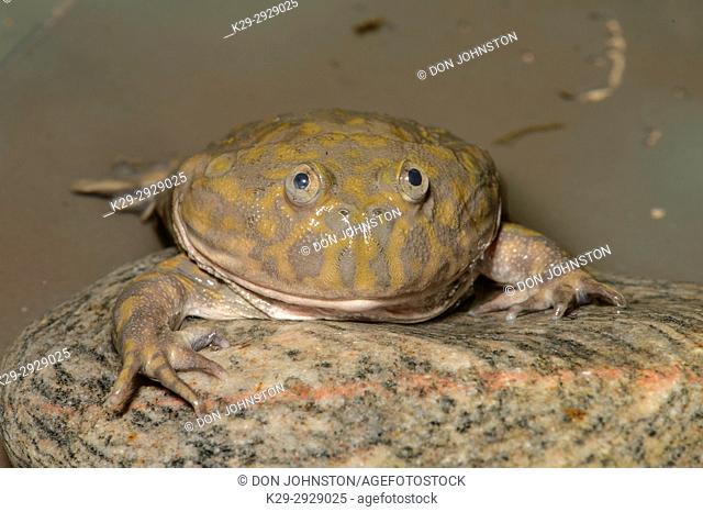 Budgettâ. . s Frog (Lepidobatrachus laevis), Captive, Reptilia reptil zoo, Vaughan, Ontario, Canada