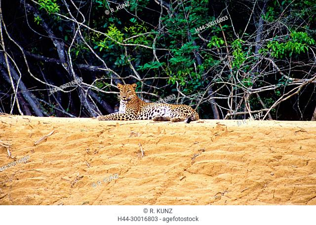 Leopard, Panthera pardus, Felidae, cat, predator, mammal, animal, Yala National Park, Sri Lanka