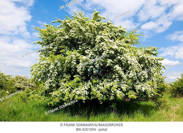 Common Hawthorn (Crataegus monogyna), flowering, Thuringia, Germany