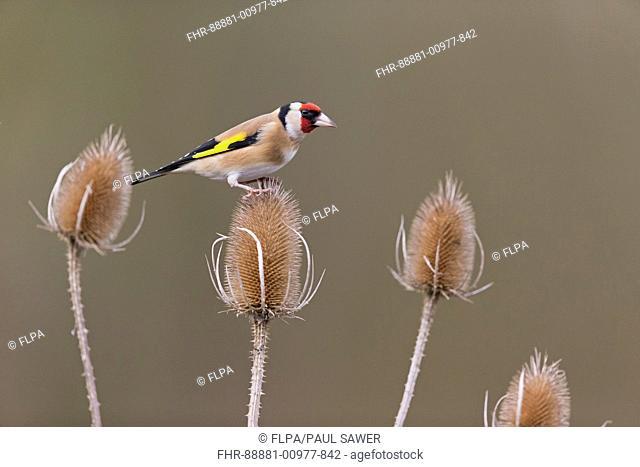 European Goldfinch (Carduelis carduelis) adult, perched on teasel seedhead, Suffolk, England, UK, February