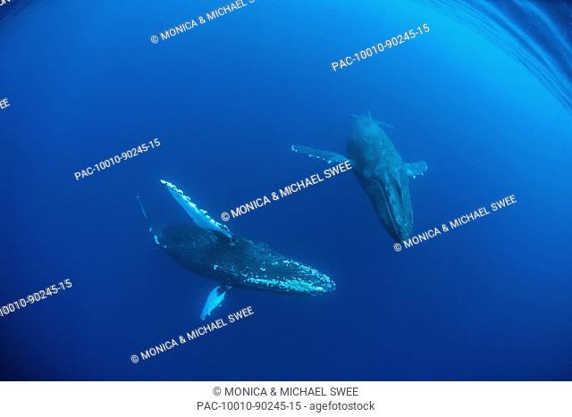 Hawaii, Maui, Two Humpback Whales Megaptera novaeangliae in ocean underwater, Wide angle