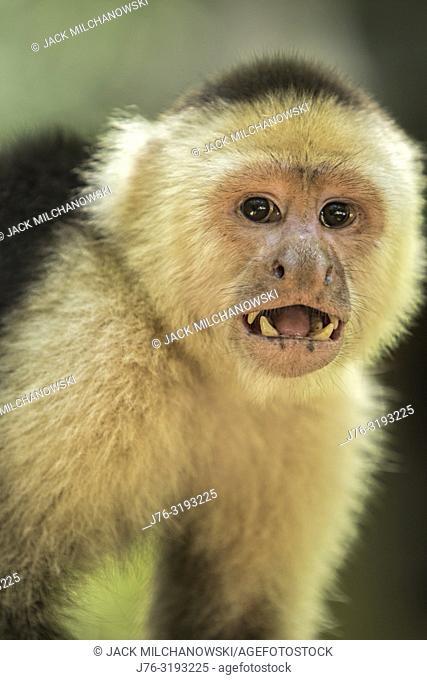 White Faced Capuchin Monkey (Cebus capucinus). Roatan, Honduras. Also know as the white headed capuchin or the white throated capuchin
