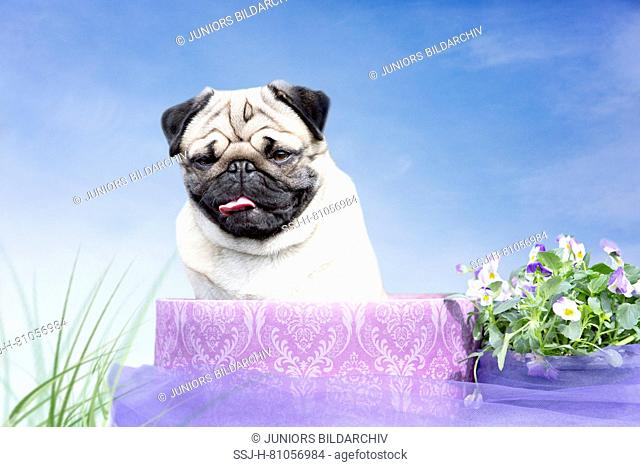Pug. Adult male (2 years old) sitting in a wooden plate next to flowering Horned Pansies. Germany